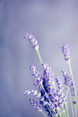 Picture of Oil - Lavender