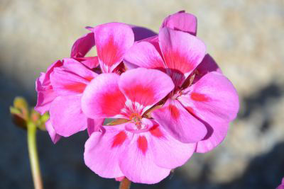 Picture of Oil - Rose Geranium