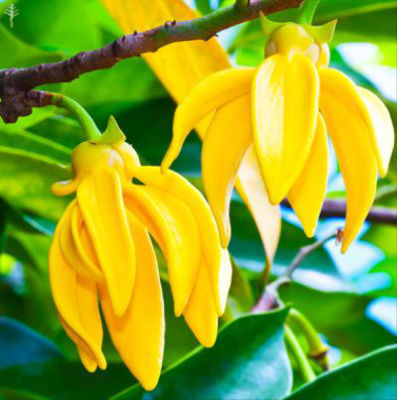 Picture of Oil - Ylang Ylang