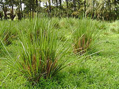 Picture of Oil - Vetiver