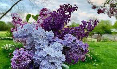 Picture of Oil - Lilac